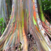 Rainbow Gum &#8211; Incredibly Natural-Colored Tree