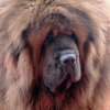 Red Tibetan Mastiff becomes world's most expensive dog!