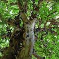 The Jabuticaba – Amazing Plant